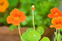 how-to-edible-flowers